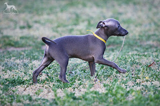 http://www.italiangreyhound.eu/2016/03/stupor-mundi-trinity-acute-warrior.html