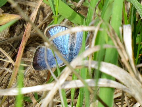 female spring azure butterfly