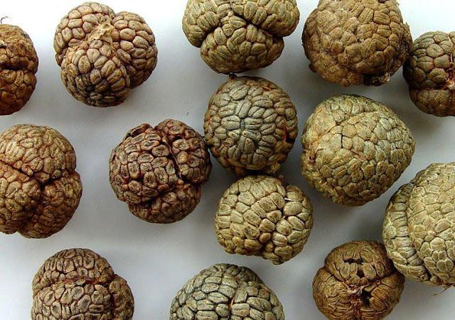 Hạt Thảo đậu khấu - Alpnia katsumadai - Nguyên liệu làm thuốc Chữa Bệnh Tiêu Hóa