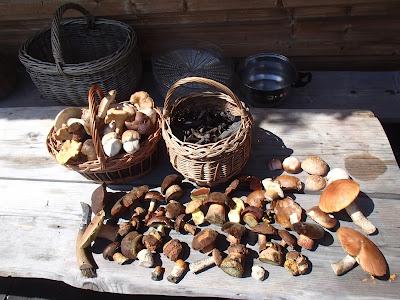 Grzyby w lipcu, grzyby jadalne w lipcu, grzyby 2016, najlepsze grzyby na pierogi
