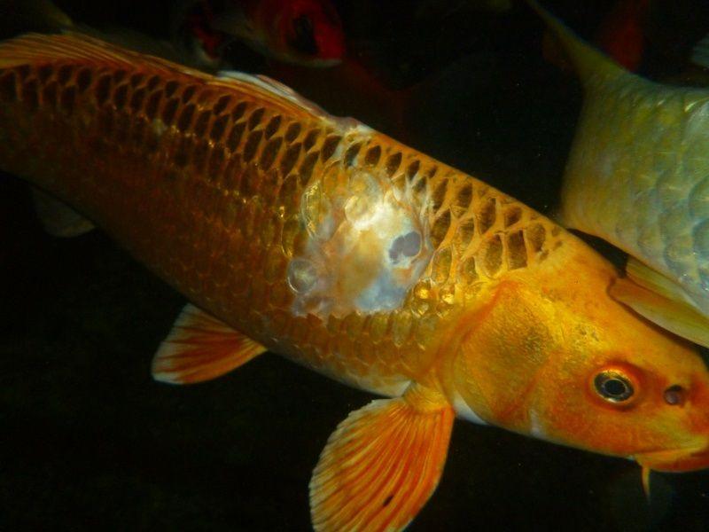 Gambar Ciri Ciri Ikan Hias sakit Atau Stres-Ikan Koi Luka