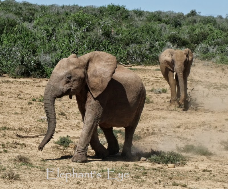 Two young elephants at Addo Emerging from the spekboom thickets and heading for the waterhole