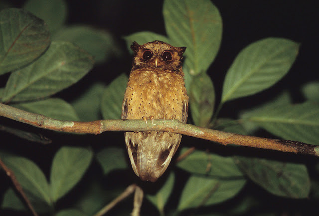 Burung hantu jenis ini dikenal juga dengan nama internasional  Mengenal Burung Hantu Celepuk Merah