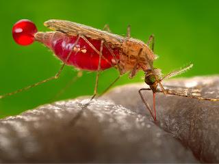 Malaria - Gejala, Penyebab, Pengobatan, Pencegahan