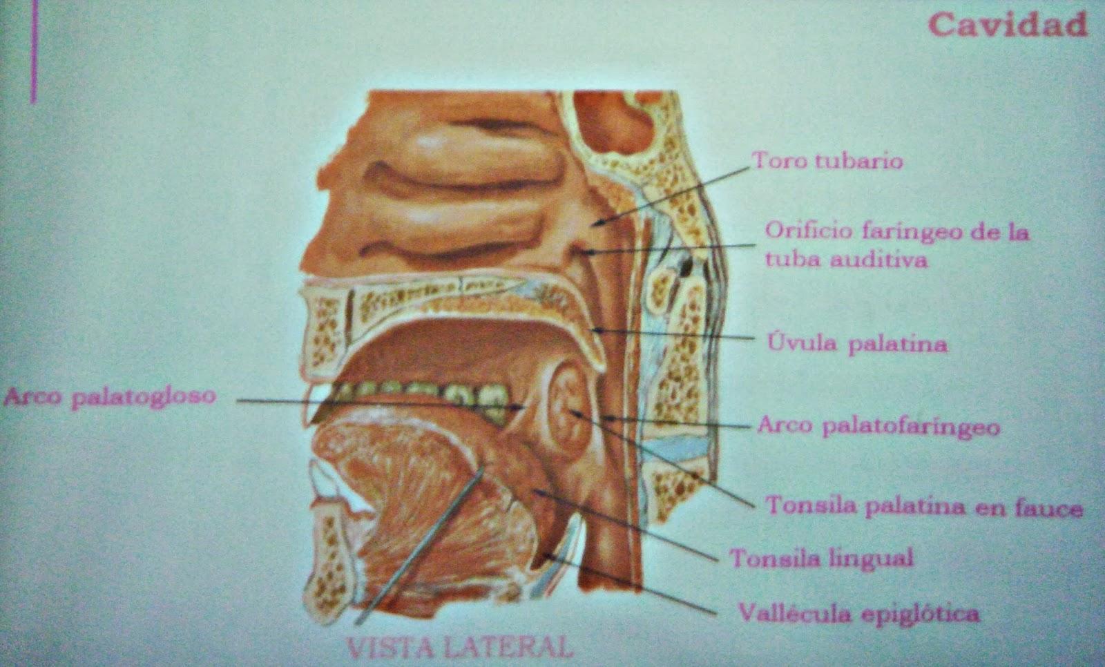 Faringe - Sistema respiratorio