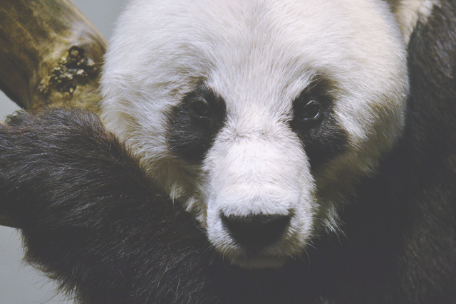 Bao Bao the Giant Panda