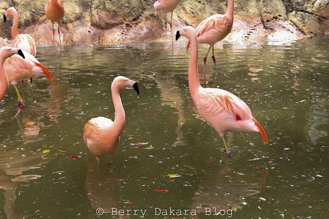 berry dakara, atlanta, zoo, zoo atlanta, travel atlanta, discover georgia, atlanta tourist, flamingos
