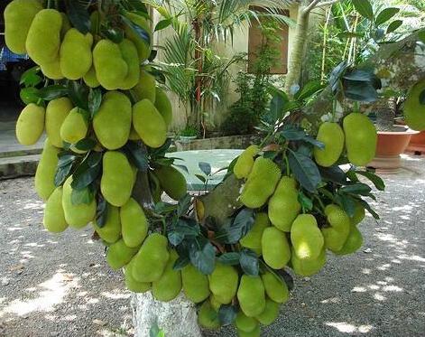 Cempedak Fruit mean?