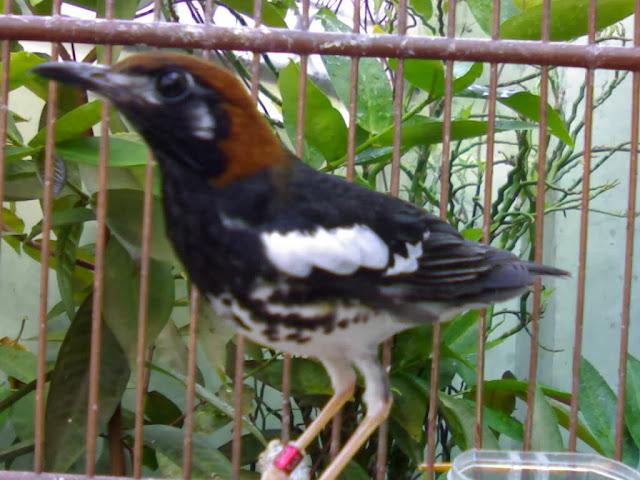 Anis kembang juga mempunyai aneka macam nama lokal menyerupai  Mengenal Burung Anis Kembang