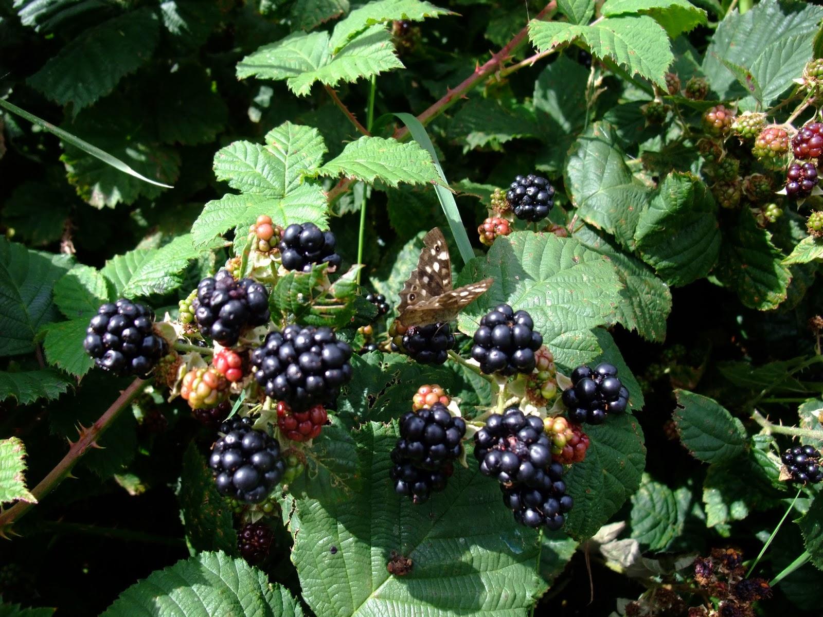 Herbal Picnic Blackberry Bramble