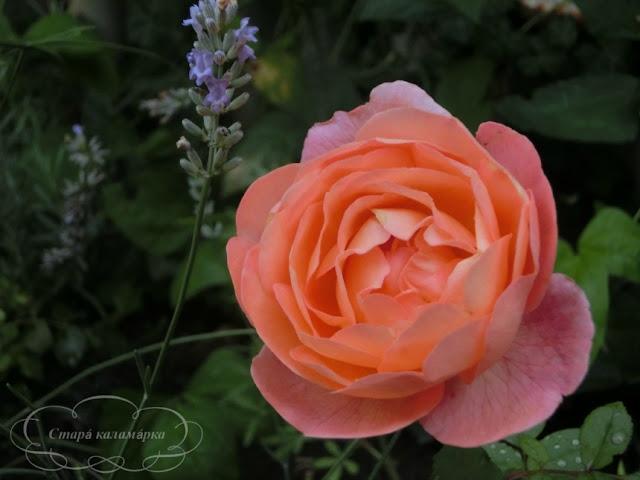 роза Lady Emma Hamilton, остинки, розы Дэвида Остина, розарии