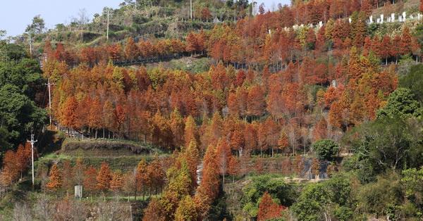 台中潭子|新田登山步道落羽松夢想莊園-超秘境!滿山兩千棵發紅的落羽松