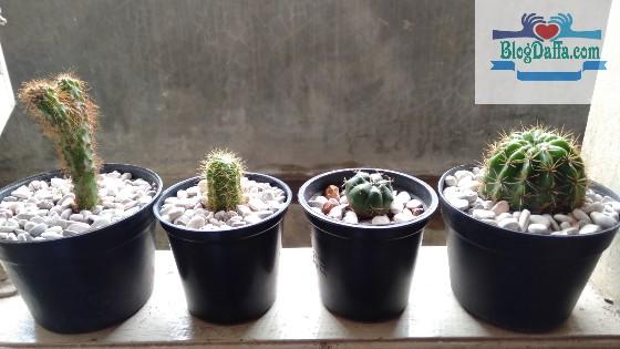 Batu apung untuk media tanam kaktus dan sekulen