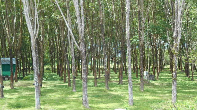 плантация деревьев гивея