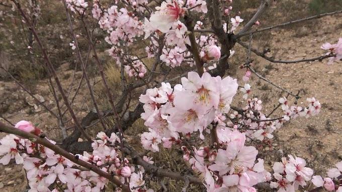 Prunus Dulcis Var. Communis