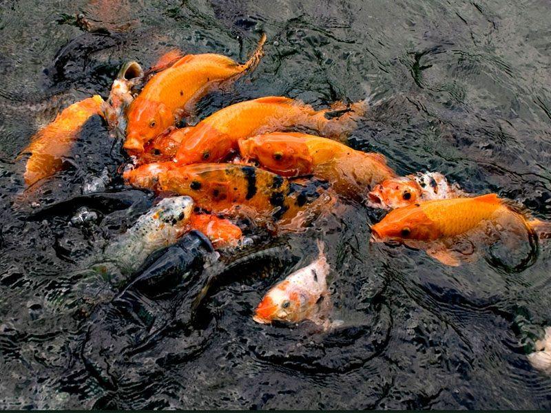 pemijahan ikan mas secara buatan
