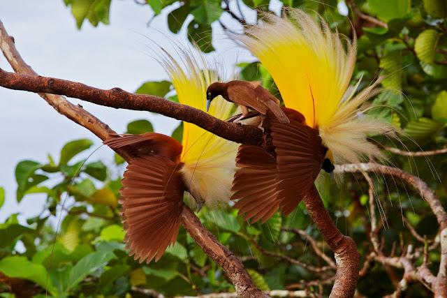 Banyak Diburu Karena Bentuknya yang Cantik, Benarkah Burung Cendrawasih Hewan dari Surga?