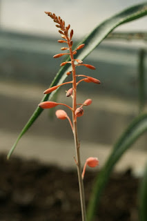 Aloe bellatula - Guillauminia bellatula