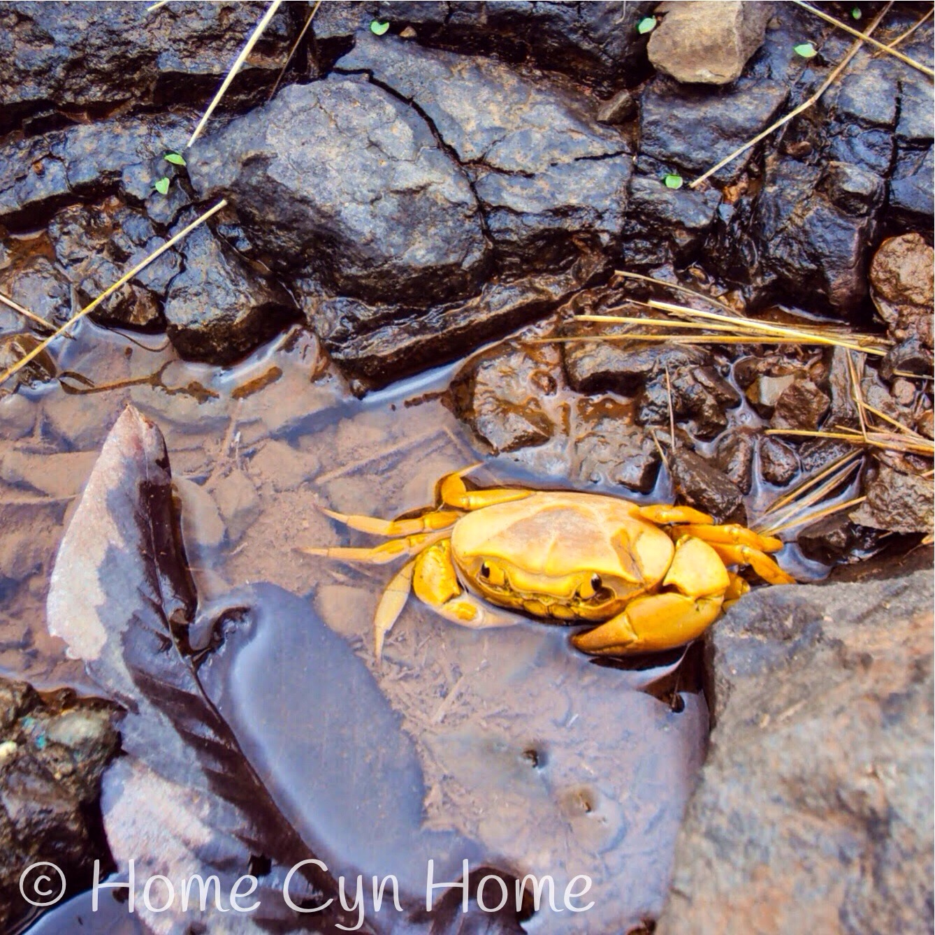 these crabs are found all around Lonavla.