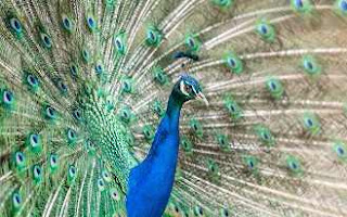Essay on National Bird Peacock For Class 2