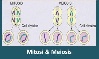 Apa yang dimaksud dengan Pembelahan Sel Mitosis dan Meiosis