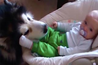 Ό,τι πιο γλυκό θα δείτε σήμερα: Το χάσκι που παίζει με το μωρό σαν να... είναι δικό του! (video)