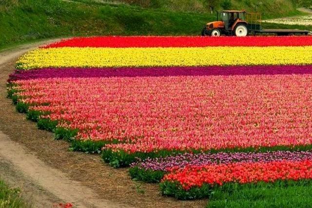 Pemandangan Bunga Tulip