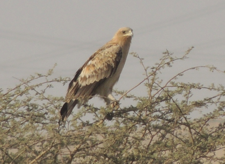Birds of prey near Riyadh
