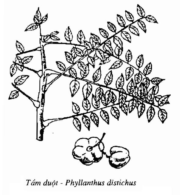 Hình vẽ Tầm Duột - Phyllanthus distichus - Nguyên liệu làm thuốc Chữa Tê Thấp và Đau Nhức