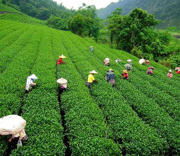 tea Bagan