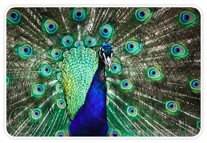 Another Beautiful Peacock on the Loose- Wildlife Photography