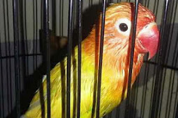 Cara dan Manfaat Mandi Malam Untuk Lovebird Yang Akan Ikut Perlombaan