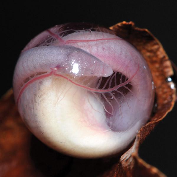 Amphibians: Biju-Egg
