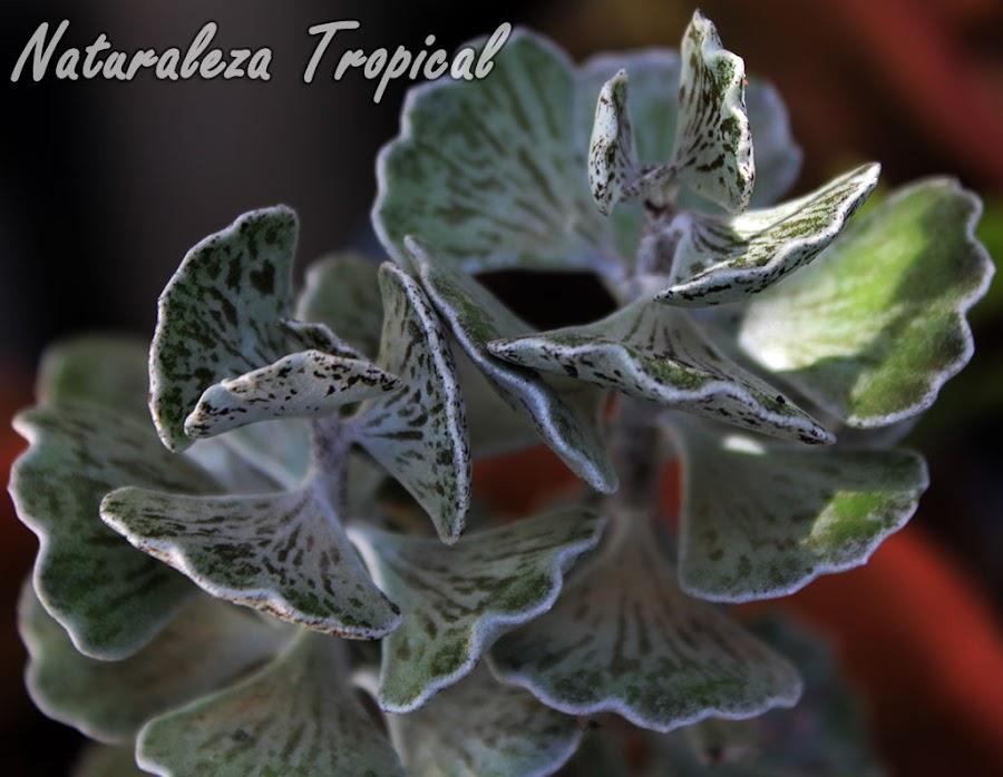 Detalle de las hojas del Calancoe Piedra, Kalanchoe rhombopilosa