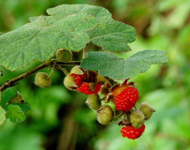 Mâm Xôi - Rubus alceaefolius - Nguyên liệu làm thuốc Chữa Bệnh Tiêu Hóa