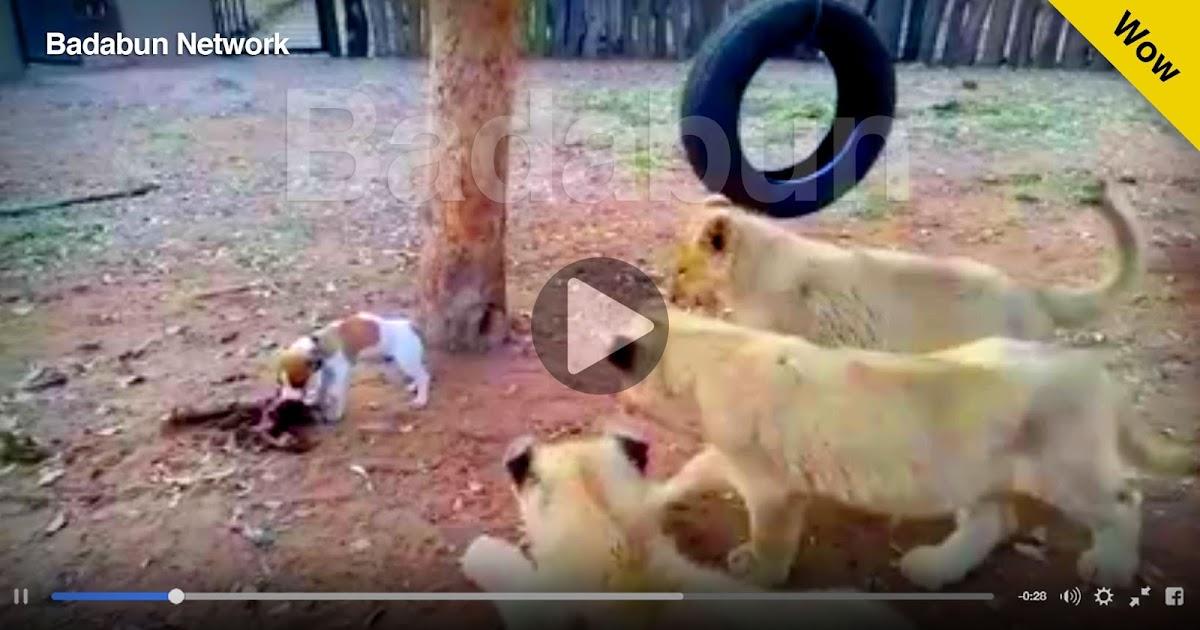 perro leones pelea video
