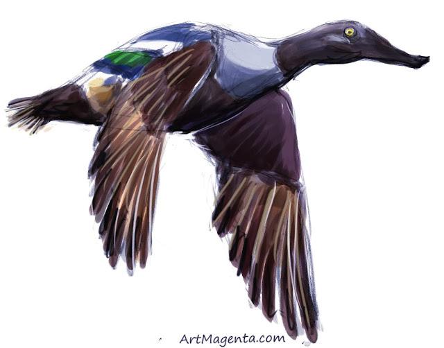 The Northern Shoveler sketch painting. Bird art drawing by illustrator Artmagenta.