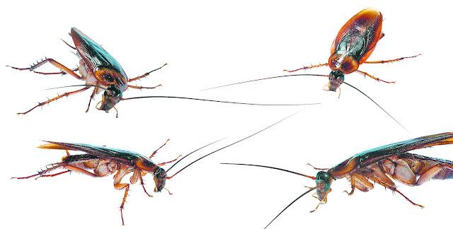 gândacii de bucătărie