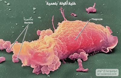 خلايا الدم البيضاء ((البلعمية)) الأكولة: Phagocytic White blood cells
