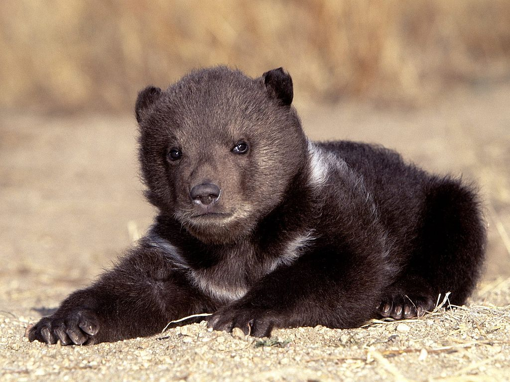 Grizzly Bear - Type Animal