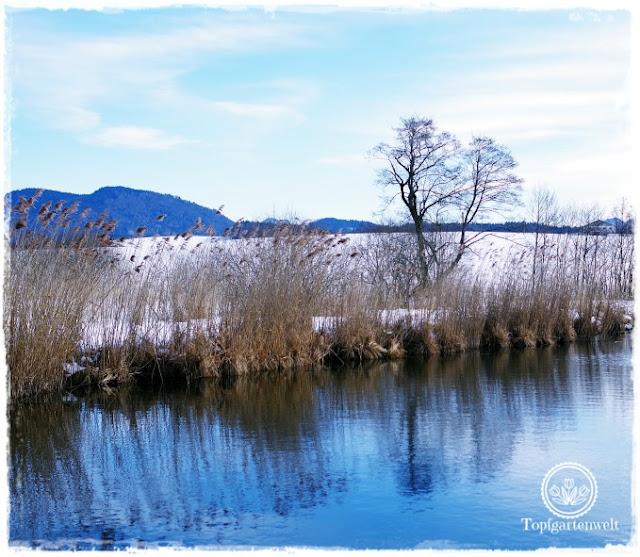 Gartenblog Topfgartenwelt Wallersee: Schilf und Baum im Schnee