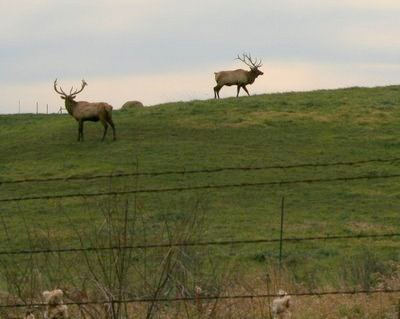 Free-range farm-raised elk near Macon, Missouri ♥ KitchenParade.com