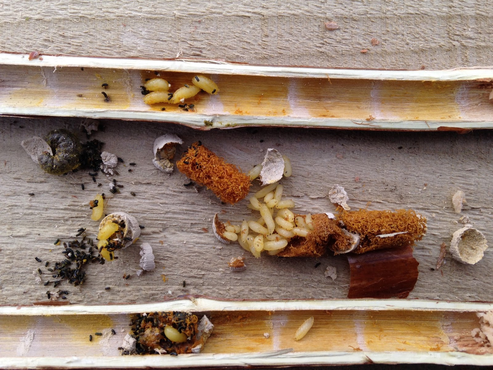 So Overall Three Female Red Mason Bees Built 21 Cells Of Which Only 14 Contain Bee Cocoons For Next Year Sadly Two The Laboured In Vain As
