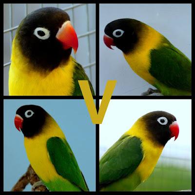Bagaimana Melestarikan Pure Species Lovebird