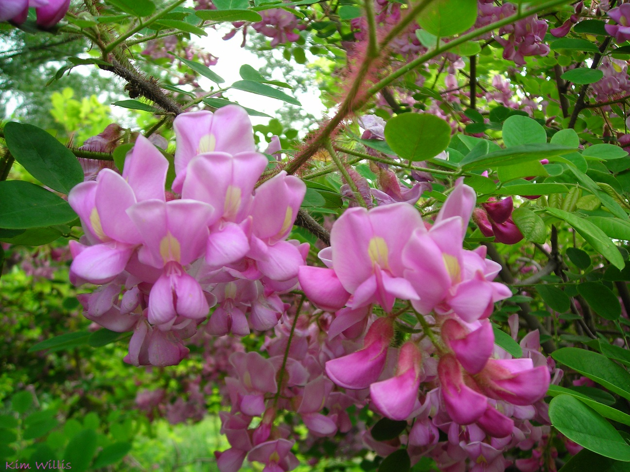 Gardening grannys gardening pages bristly locust robinia hispida if you want a shrub or small tree that will turn heads when its in bloom and thats very easy to grow why not try a bristly locust robinia hispida mightylinksfo