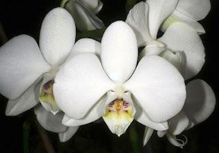Gambar Bunga Anggrek Bulan Yang Indah
