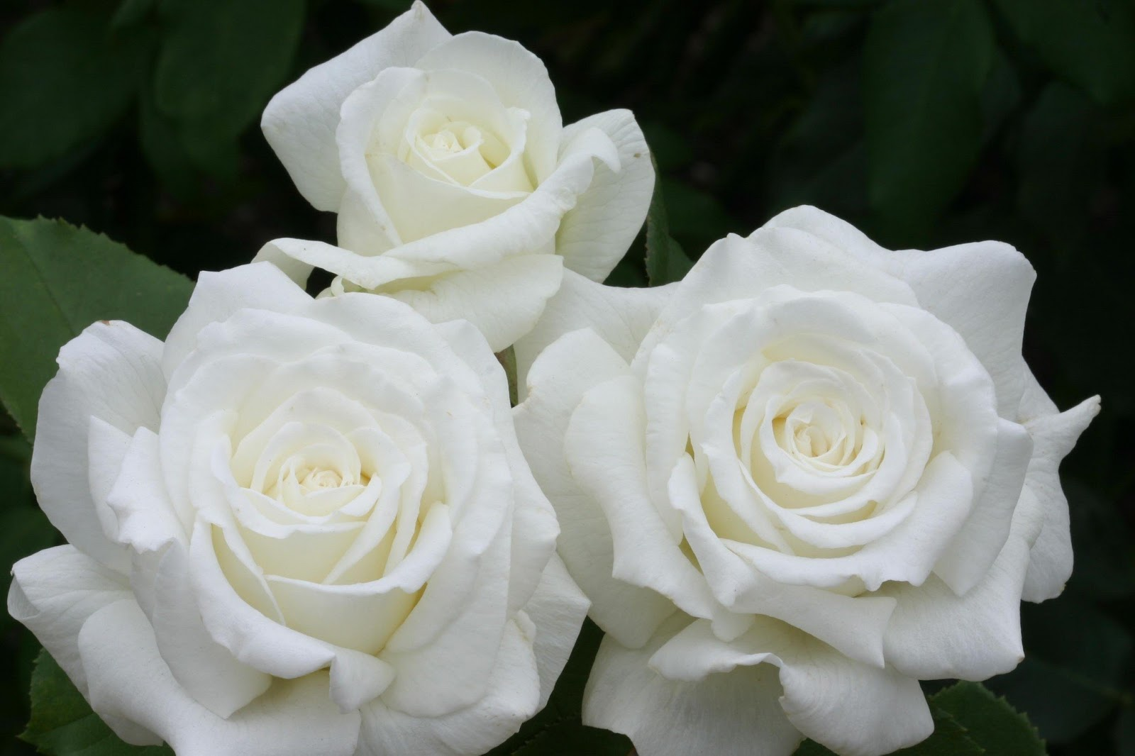 how to get rid of aphids on knockout roses