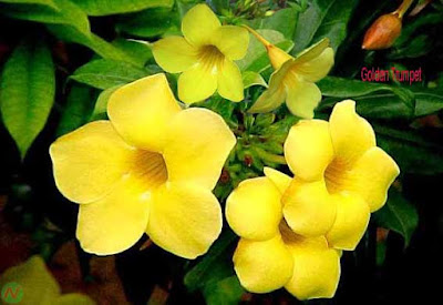 golden trumpet flower, golden trumpet
