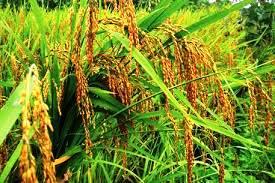 Budidaya Padi / beras merah organik menguntungkan