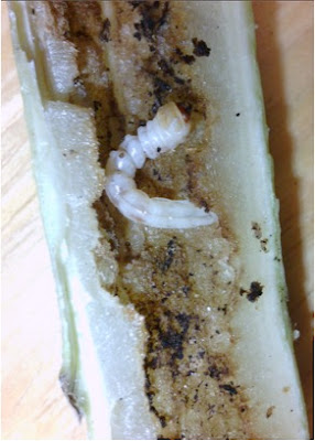 Picture shows a white larvae of a sunflower stem borer